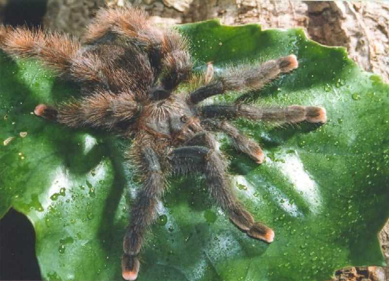 Eastern horned baboon tarantula