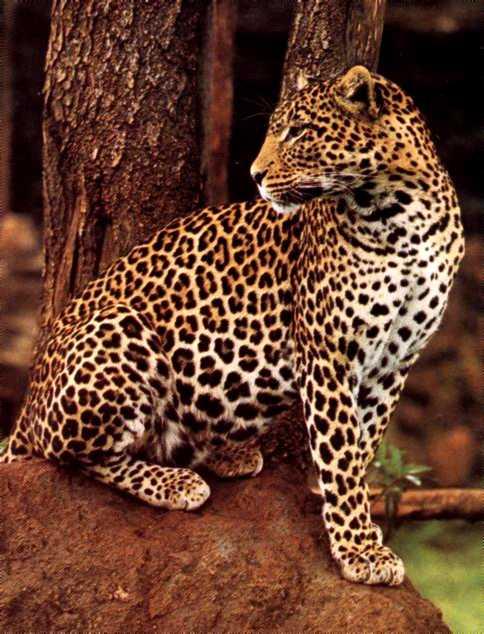 buona notte dans immagini buon...notte, giorno leopardo