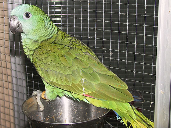 papagaio_comum.jpg
