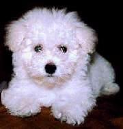 Mini Poodle Toy Caracteristicas Images