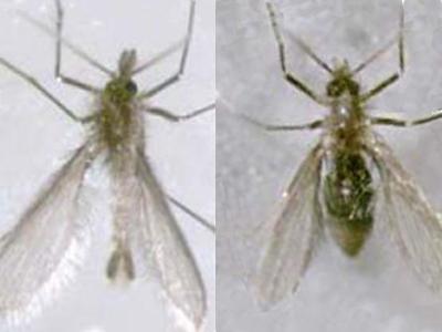 Macho (esq.) e fêmea adultos do flebotomíneo